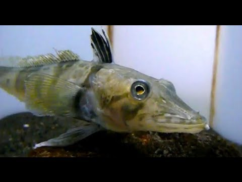 World premiere. Transparent blood fish.Ocellated icefish ...