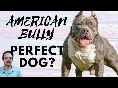 american-bully-dog-breed---perfect-loyal-family-dog?