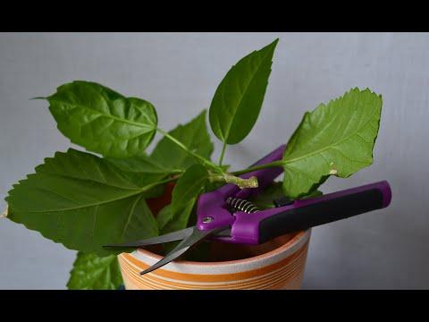Обрезка гибискуса для формирования и стимулирования цветения