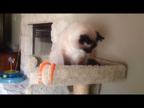 Birman Cat Simon cleaning husband bed.