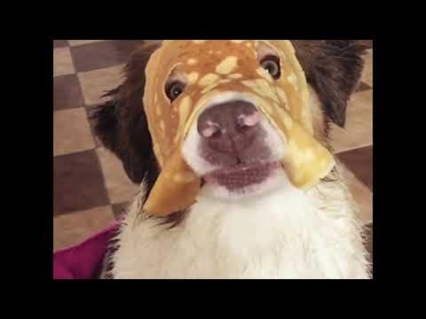 Australian Shepherd Wears a Pancake Mask || ViralHog