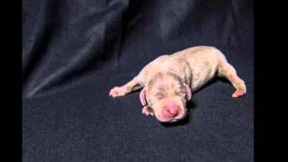 Cindi's New Weimaraner Puppies!! Be Sure To Watch In Hd