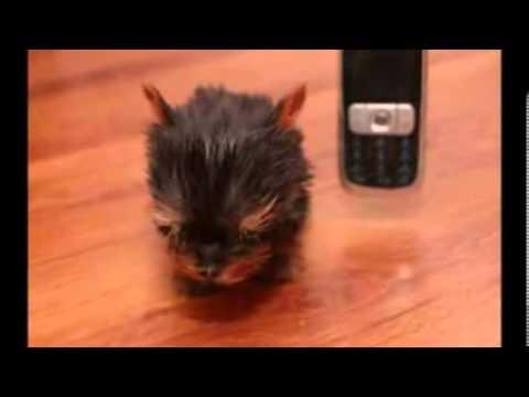 Le chien le plus petit du monde - YouTube