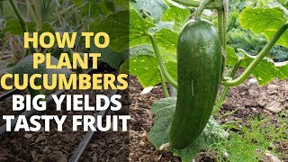 How to Plant Cucumbers for BIGGER Yields and DELICIOUS Fruit