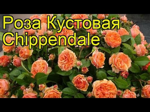 Роза кустовая Чиппендейл (Chippendale). Краткий обзор, описание характеристик, где купить саженцы