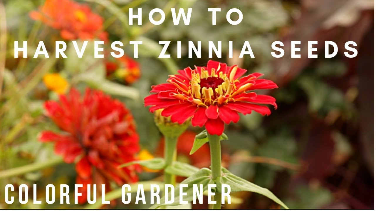 How To Save Zinnia Seeds Colorful Gardener Youtube