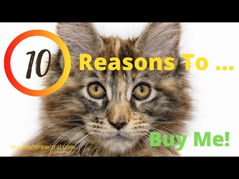 10 Reasons To Buy A Maine Coon Cat