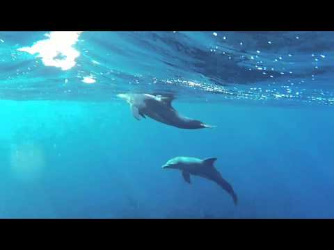 Swimming with dolphins - Abu Nuhas - Red Sea