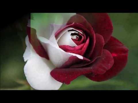 Amazing Roses  Youtube