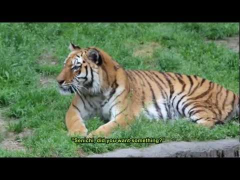Amur Tigers at Tennoji Zoo, Osaka, Japan  天王寺動物園のアムールトラ