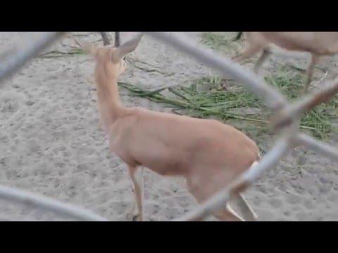 Deer, in Rani Bagh Hyderabad, sindh, pakistan