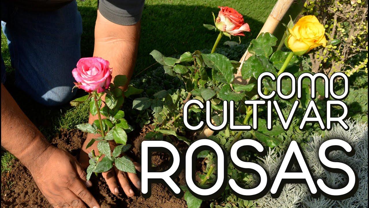 Como cultivar rosas youtube for Como criar caracoles de jardin