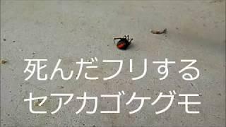 死んだ振りする巨大なセアカゴケグモ(redback spider (Latrodectus hasselti)