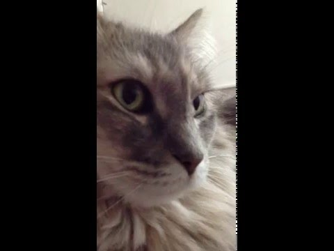 Maine Coon Cat Chatter