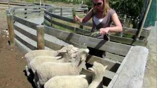 Arret pour donner a manger aux moutons
