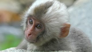 【SNOW MONKEY】 White Hair Baby 4 地獄谷野猿公苑