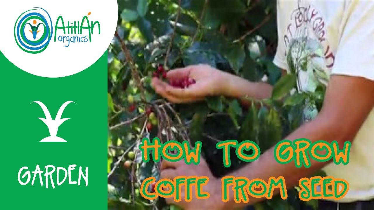 How To Grow Coffee From Seed Coffee Plant Propagation Atitlan Organics Youtube