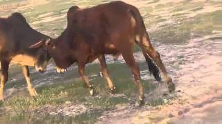 bull ox fighting funny video