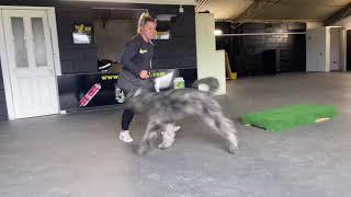 Bouvier de Flanders parker 6 months old Active learning