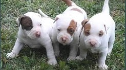 Dogs Picture Collection Of Puppy Terrier American Pit Bull