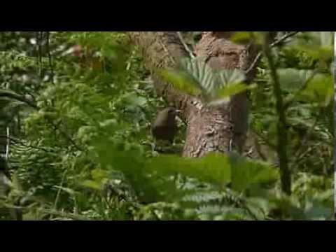 wren making ticking alarm call (Troglodytes troglodytes)