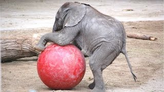 Cute baby elephant - lucu dan lucu video bayi gajah. kompilasi | Baru, HD