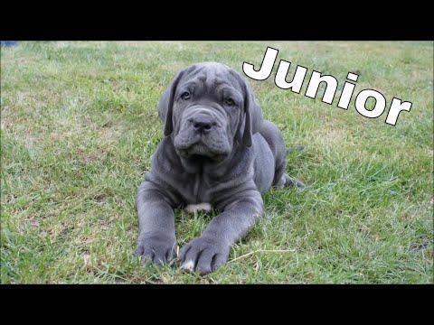 Puppies Leaving! Ep.5 Junior Neapolitan Mastiff Puppy 9 Weeks Old