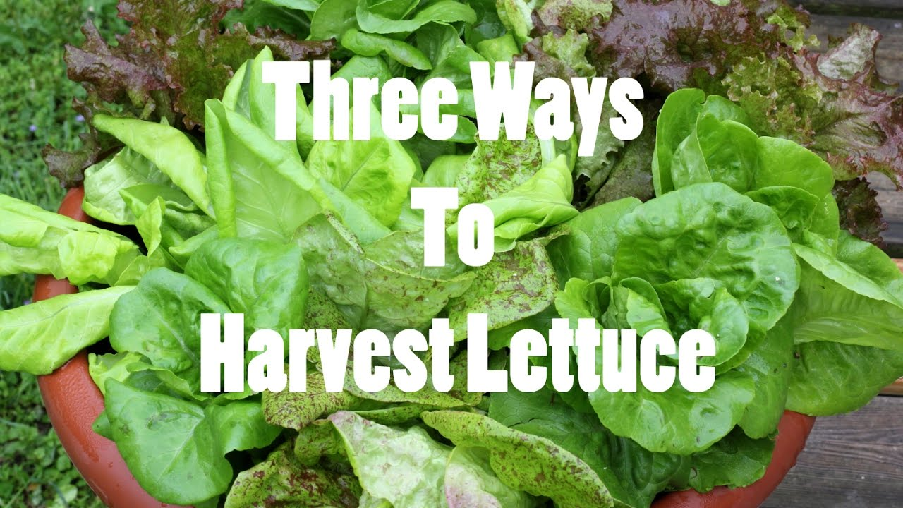 Gardening basics three ways to harvest lettuce youtube - How to store lettuce from garden ...