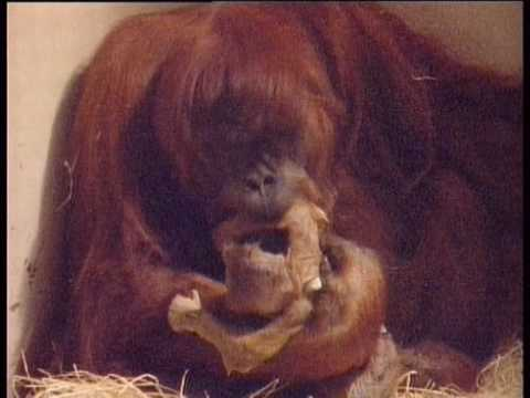 Birth of a baby orangutan