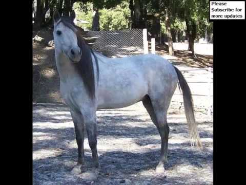 Caspian Horse | Set Of Picture Ideas Of Horses