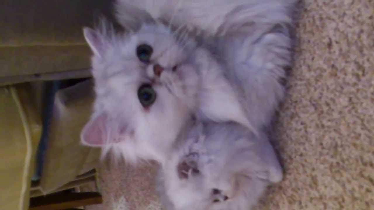 Skarlett. Персидские кошки шиншиллы, котята.