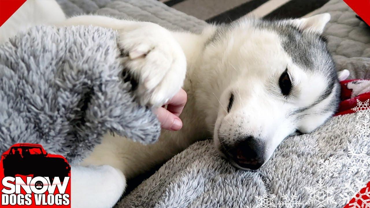 Husky Demands Lots of Love and Pets