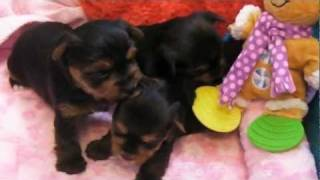 Akc Champion Sired Oregon Yorkies Puppies