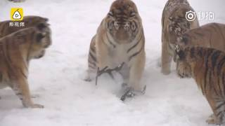 Siberian tigers in China kill drone and then play with it
