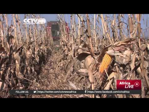 South Africa drought : Maize production forecast predicts slump