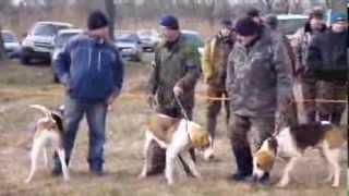 Выводка гончих пород собак 23-02-2014 года Валуйский р-н Белгородской обл.