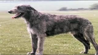 Where Can I Buy Irish Wolfhound Puppies?