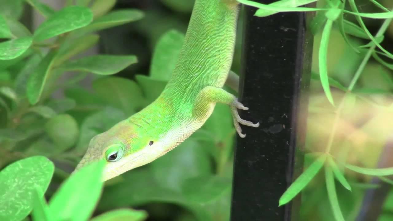 Green Anole Lizard In My Backyard (High Definition) - YouTube