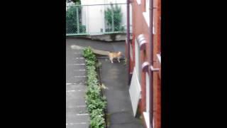 家の窓から撮影した猫の喧嘩です。 画質がわるいのはご了承下さい。