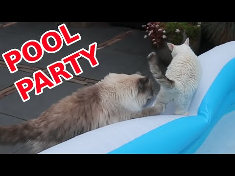 Will my Cats Fall into the Water? | Bowie The Ragdoll Cat & Bella The Lambkin Cat