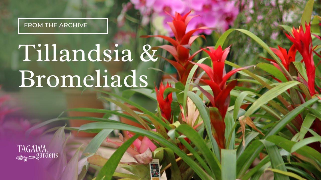 Air Plants Tillandsias And Bromeliads By Tagawa Gardens Youtube