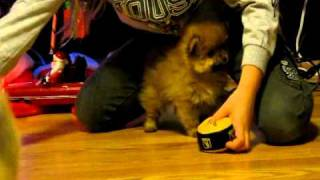 Pomeranian Puppies - One Week Apart In Age.