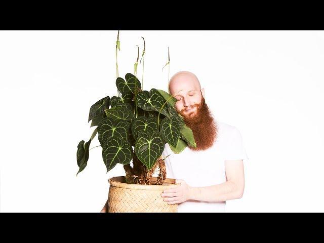 Prinz Harry (Herzblattblume Anthurium)