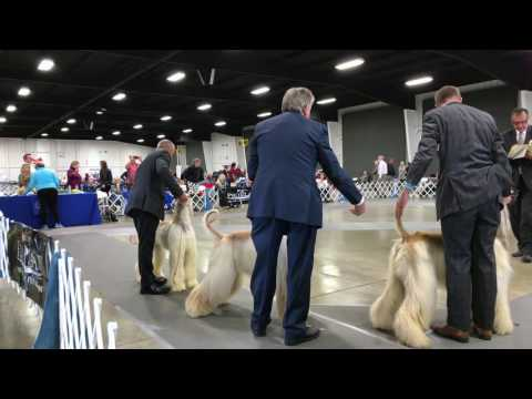 Afghan Hound Costa Messa Dog Show 12/11/2016