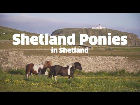 Shetland Ponies From Shetland