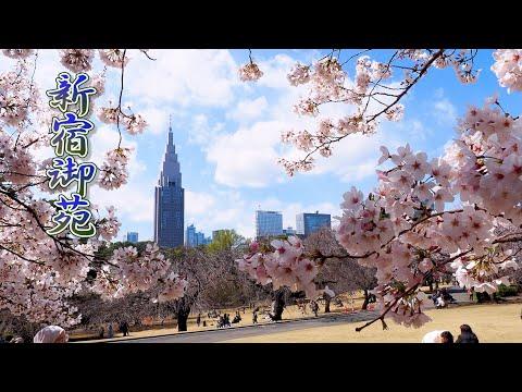 TOKYOCherry blossomsSomei-Yoshinoof Shinjuku Gyoen National Garden and Joenji Temple. #4K