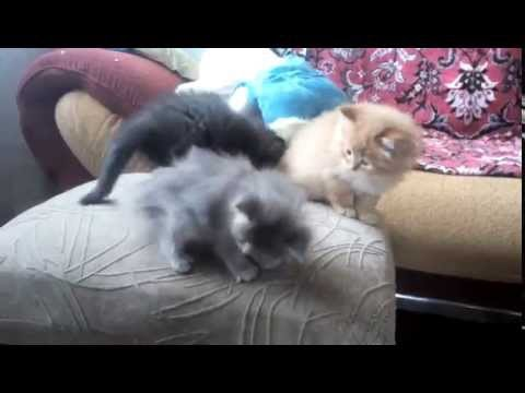 Наши шотландские котята
