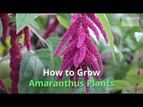 Amaranthus Growing Guide