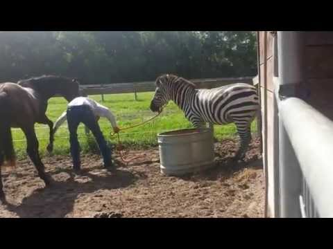 Zebra handling  lessons by horse trainer Rick Steed