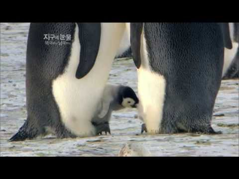 [뽀뽀뽀동물원] 알에서 깨어나는 새끼팽귄 - Baby penguins hatch from their eggs